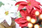 12月ポインセチア写真.jpg
