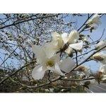 3月 コブシの花.jpg
