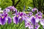 6月の花 写真�V.jpg