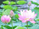 8月蓮の花 写真.jpg