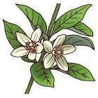 みかんの花�U.jpg