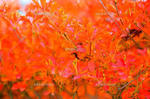 ハゼの葉 紅葉.jpg