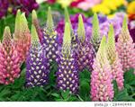 ルピナスの花�U.jpg