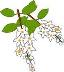 卯の花�U.jpg
