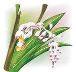 月桃の花.jpg
