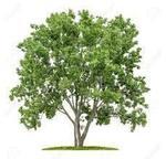 菩提樹�U.jpg